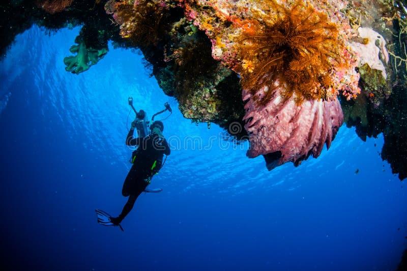 Duiker, vatspons Xestospongia SP in Banda, de onderwaterfoto van Indonesië royalty-vrije stock afbeelding
