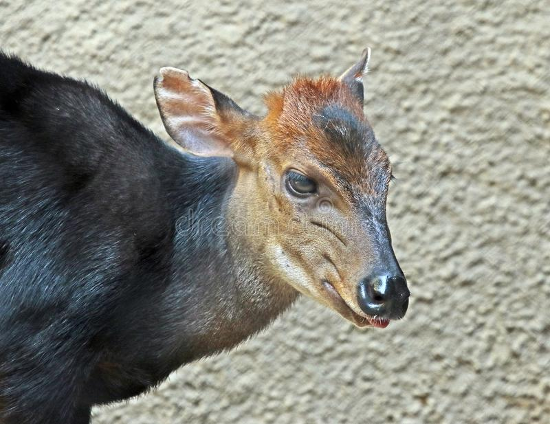 Duiker. West African Black Antelope Close Up royalty free stock photography
