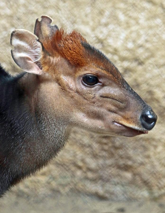 Duiker. West African Black Antelope Close Up royalty free stock images