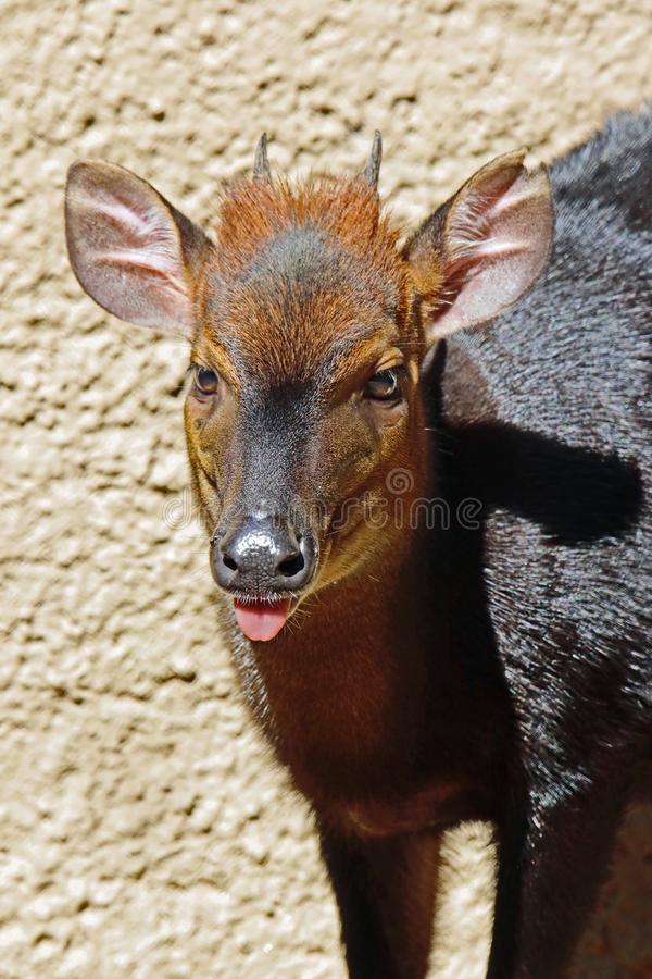 Duiker. West African Black Antelope Close Up royalty free stock photo