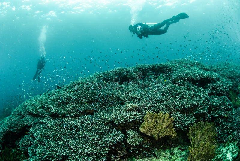 Duikers, koraalrif, anemoon in Ambon, Maluku, de onderwaterfoto van Indonesië royalty-vrije stock foto