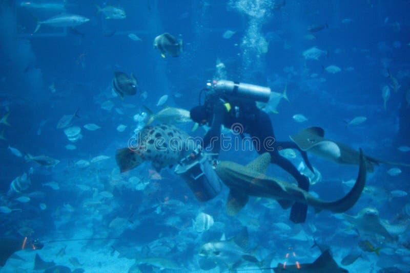 Duikervissen het voeden waanzin royalty-vrije stock foto's