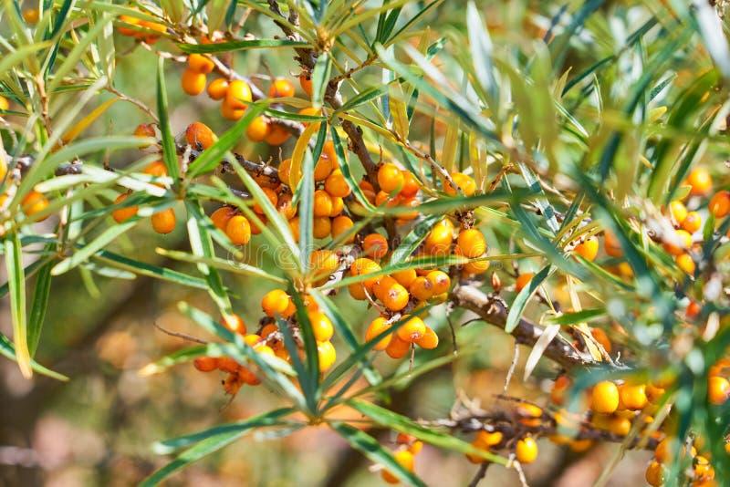 Duindoornstruik met Gele rhamnoides, Sandthorn, Sallowthorn of Seaberry van bessenhippophae royalty-vrije stock afbeelding