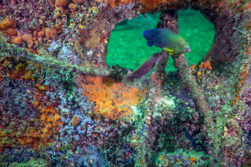 Duistere Damselfish - Rode Ertsader Kunstmatige Ertsader stock afbeeldingen