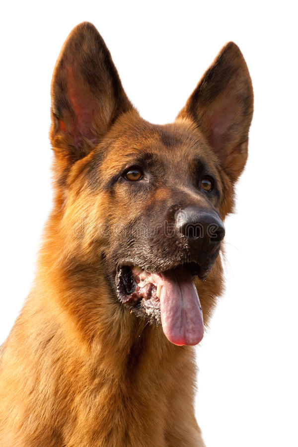 Duits herdershondportret royalty-vrije stock foto