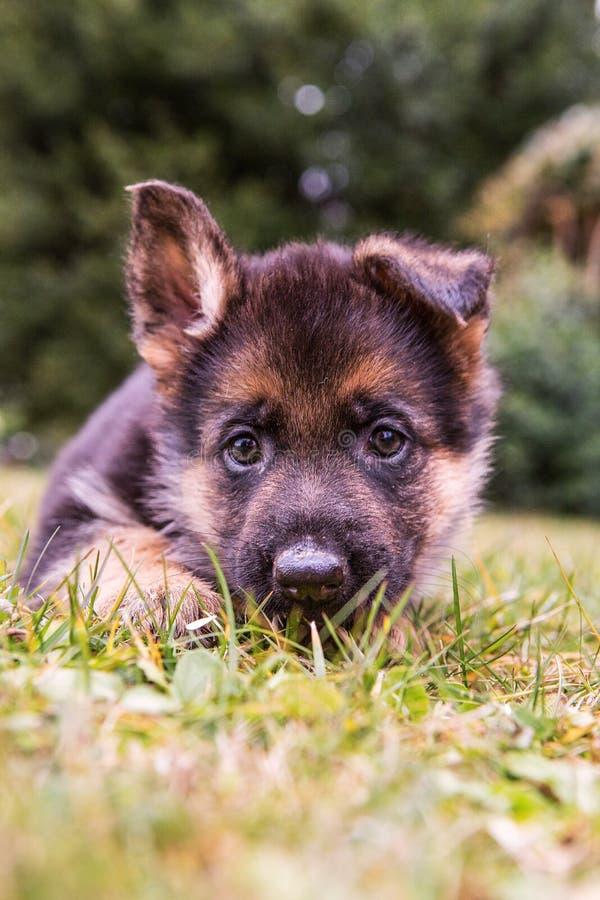 Duits Puppy Sheperd royalty-vrije stock fotografie