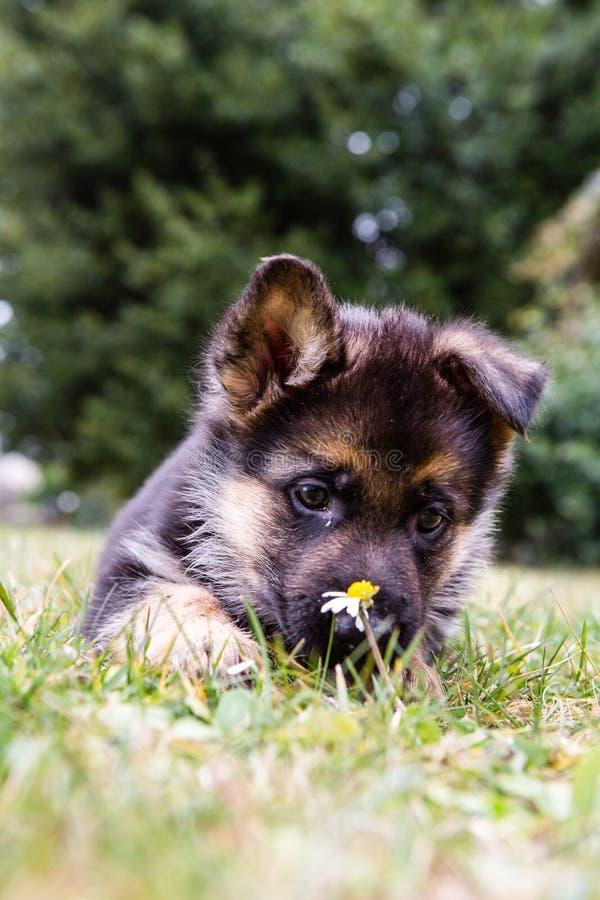 Duits sheperdpuppy met een bloem stock afbeeldingen