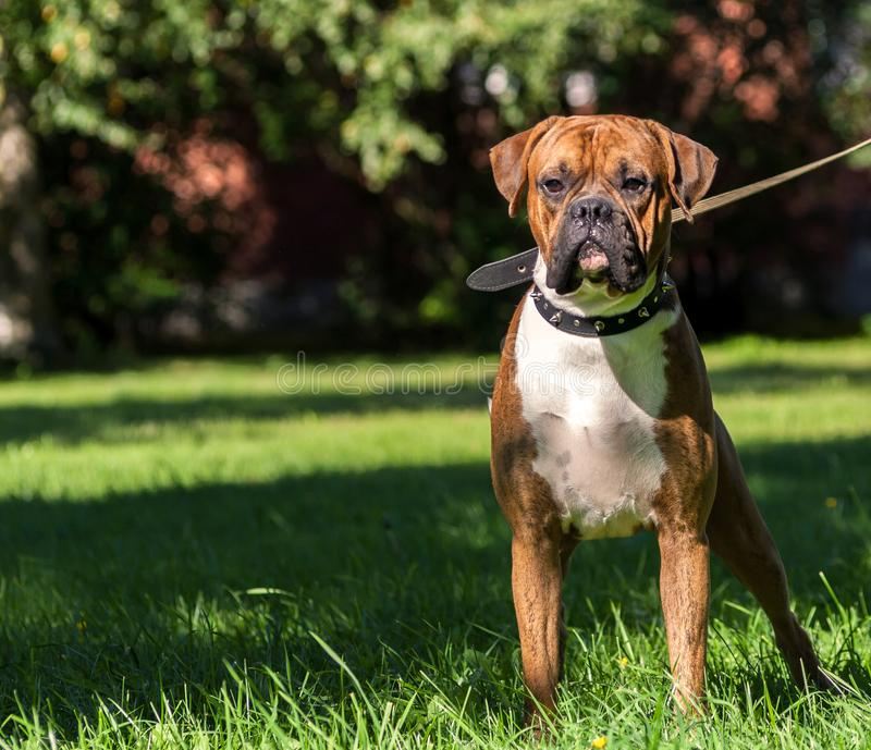 Duitse bokserhond, rasechte jongelui, stock foto