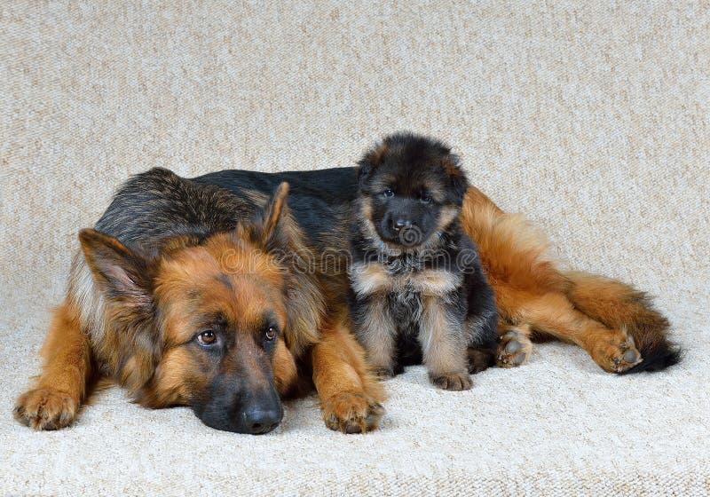 Download Duitse herder! stock foto. Afbeelding bestaande uit puppy - 39105954