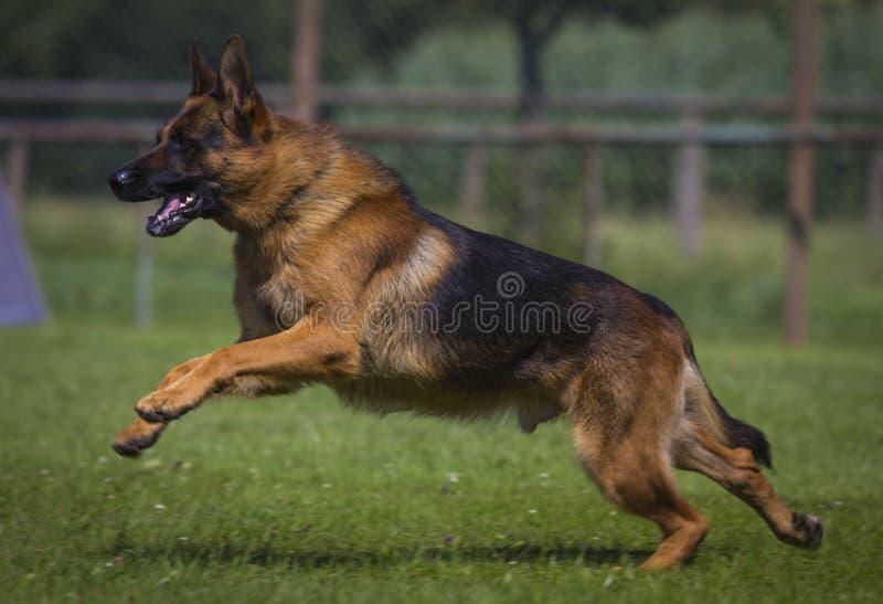 Download Duitse herder stock foto. Afbeelding bestaande uit onderaan - 39109226