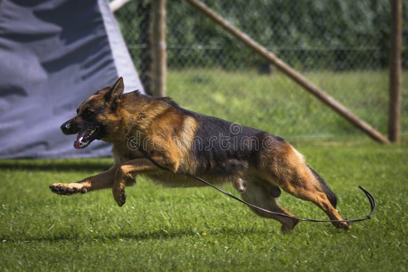 Download Duitse herder stock foto. Afbeelding bestaande uit wacht - 39109298