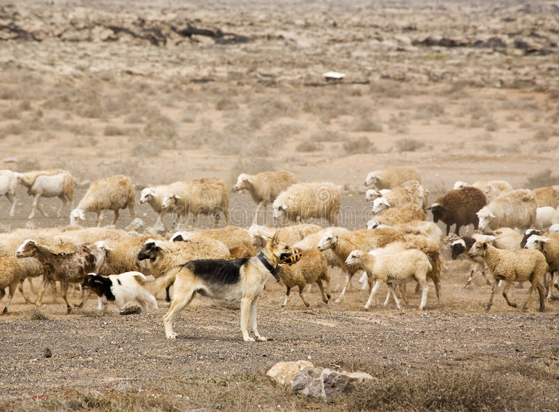 Duitse herder die kudde van schapen bewaakt royalty-vrije stock foto's