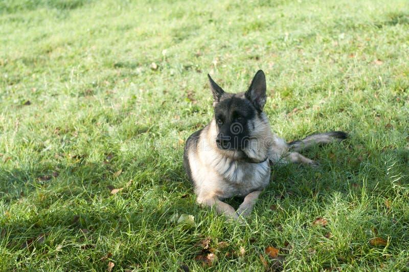 Duitse herder Dog stock foto