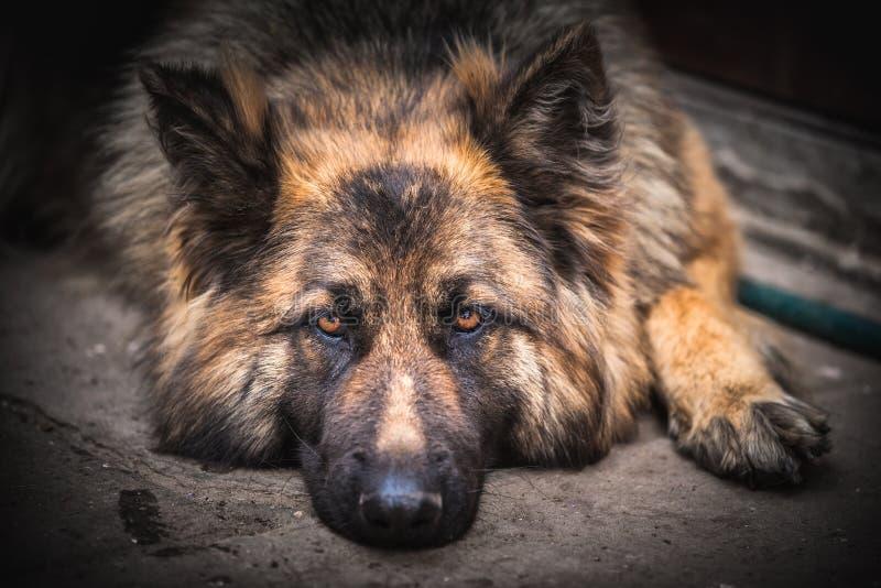 Duitse herder Dog stock afbeeldingen