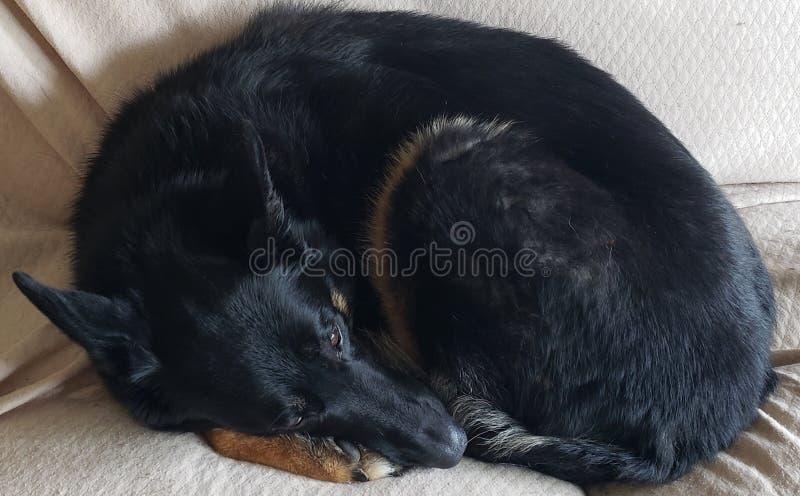 Duitse herder Dog Curled Up in een Bal stock foto's