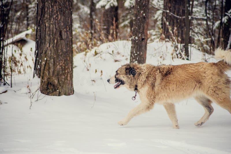 Duitse herder Dog die met stok in mond onderaan sneeuw de lopen behandelde sleep in hout stock fotografie