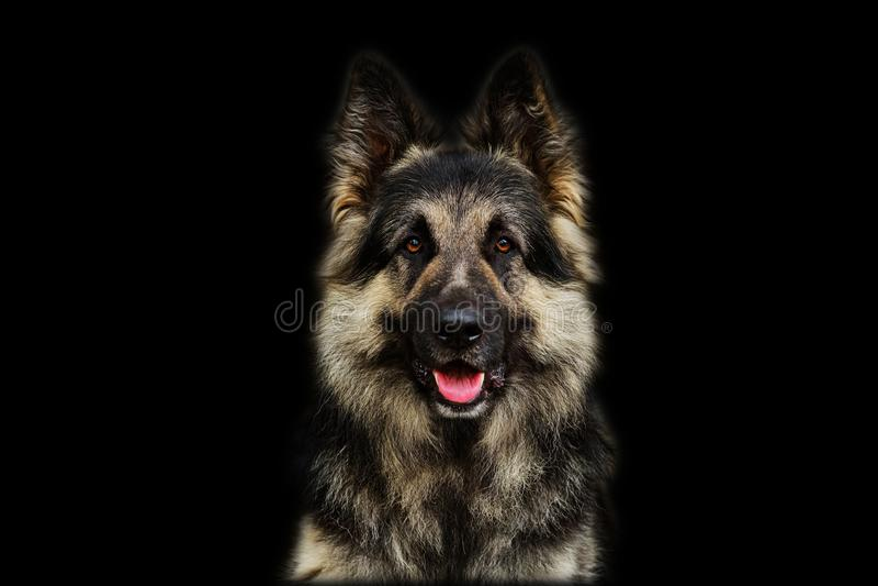 Duitse herder Dog Isolated op Zwarte Achtergrond royalty-vrije stock fotografie
