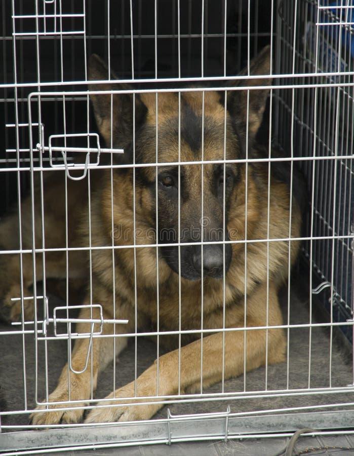 Duitse herder in een autokooi. stock fotografie