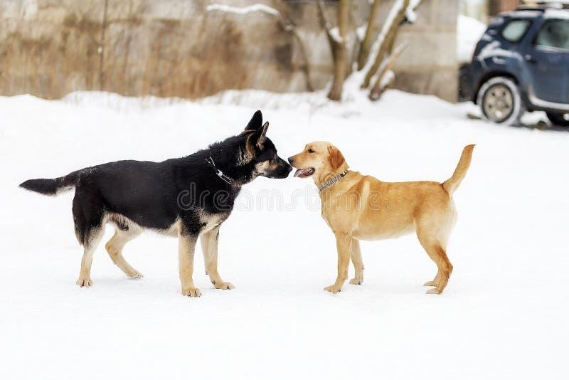Duitse herder en Labrador, die elkaar snuiven stock fotografie
