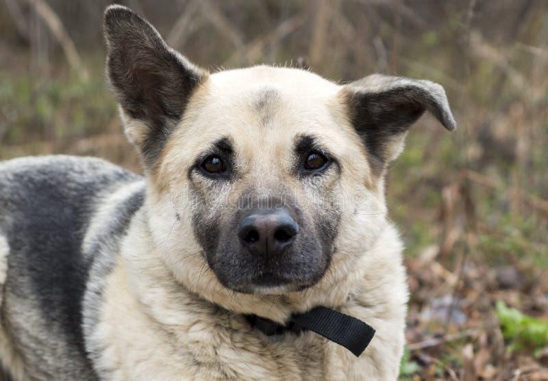 Duitse herder gemengde de goedkeuringsfoto van de rassenhond stock afbeelding