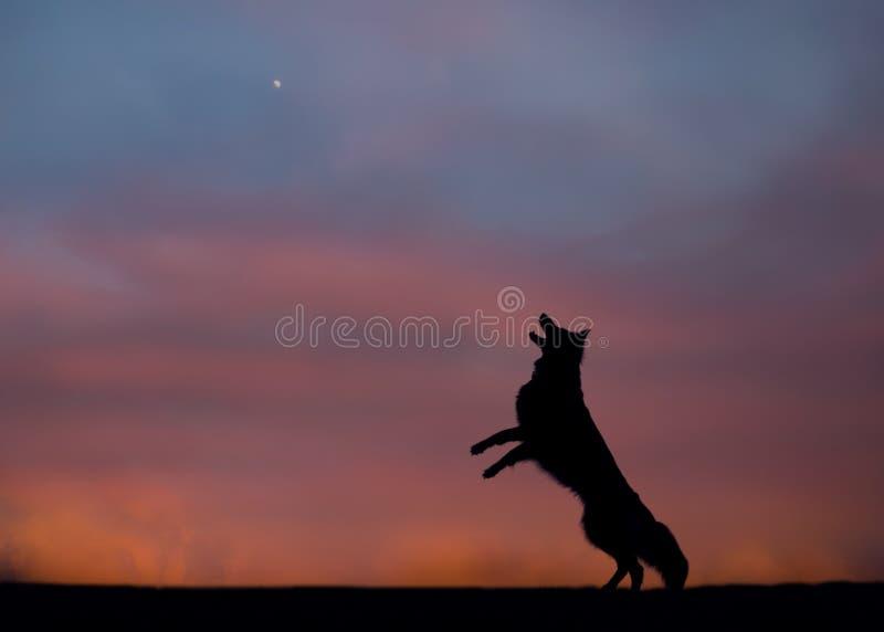 Duitse herder het ontschorsen bij de maan stock fotografie