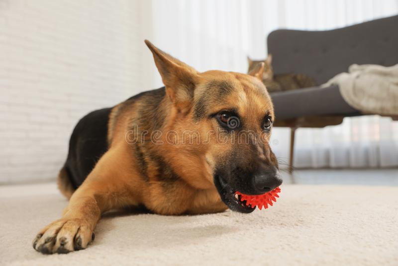 Duitse herder het spelen met bal in woonkamer stock fotografie