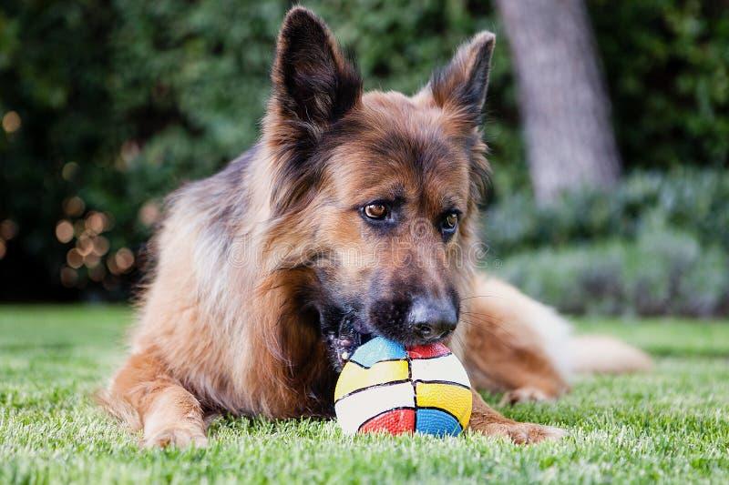 Duitse herder met een bal stock foto's