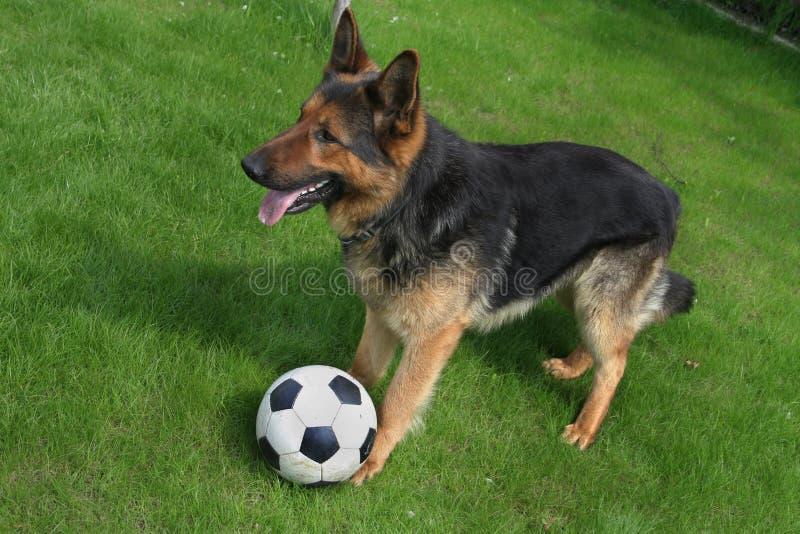 Duitse herder met een bal stock afbeeldingen