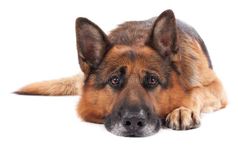 Duitse herder op een wit royalty-vrije stock foto