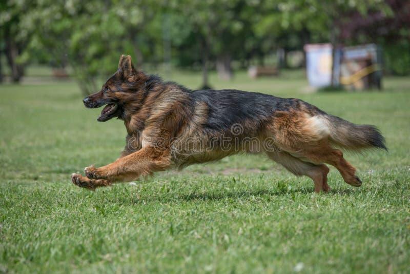 Duitse herder Running Through het Gras royalty-vrije stock afbeeldingen