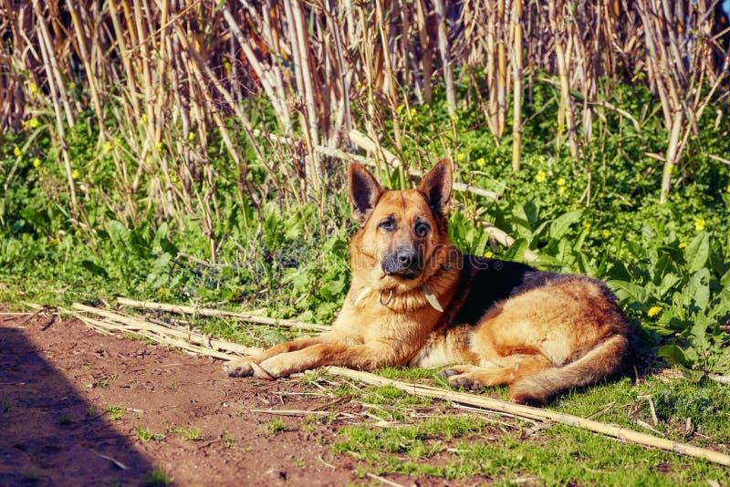 Duitse herderhond in aard stock afbeelding