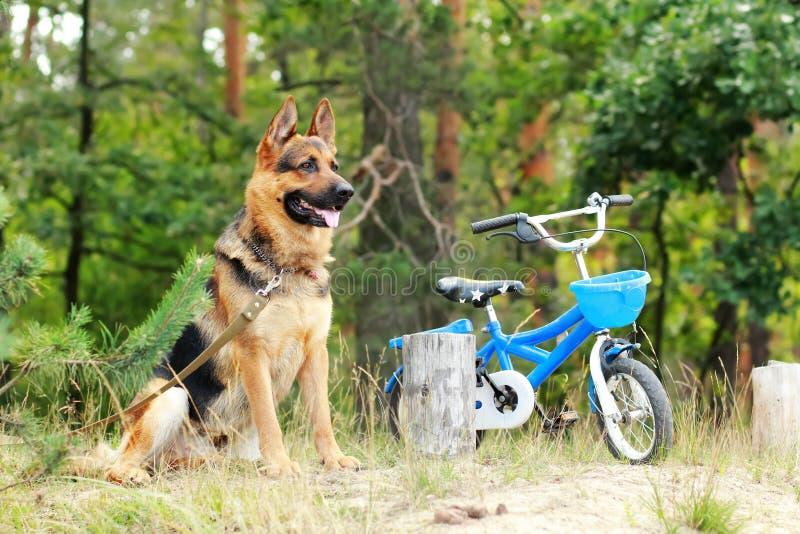 Duitse herderhond die en een kleine kinderen blauwe fiets in openlucht zitten bewaken stock afbeeldingen