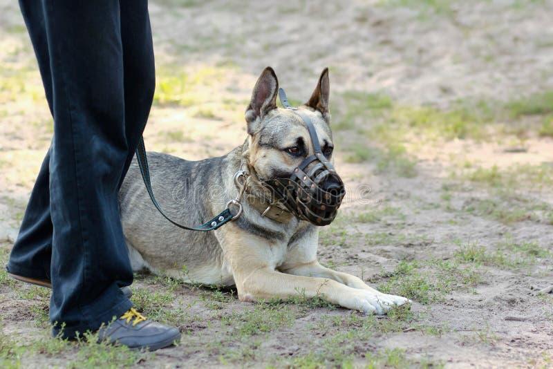 Duitse herderhond die op de grond liggen, die een snuit dragen, die zijn eigenaar bekijken stock foto
