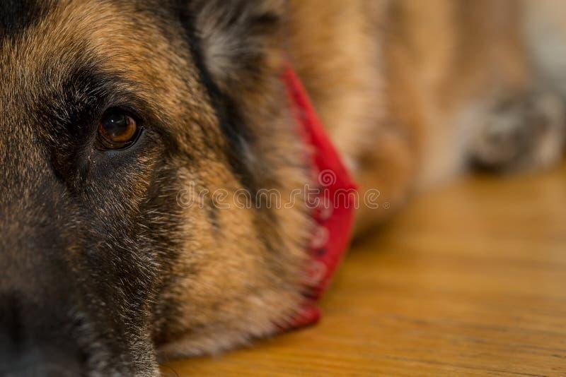 Duitse herderhond die op vloer leggen royalty-vrije stock foto's