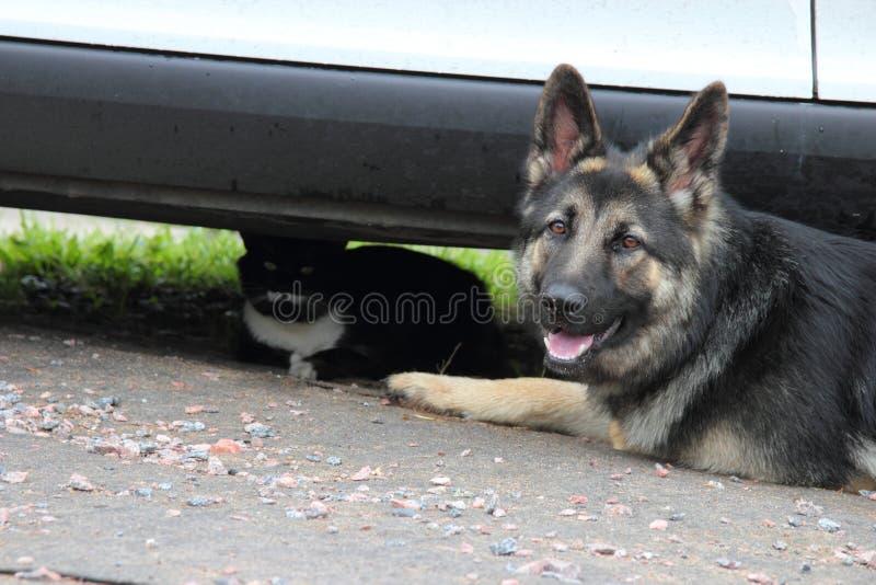 Duitse herderhond met een kat stock afbeelding