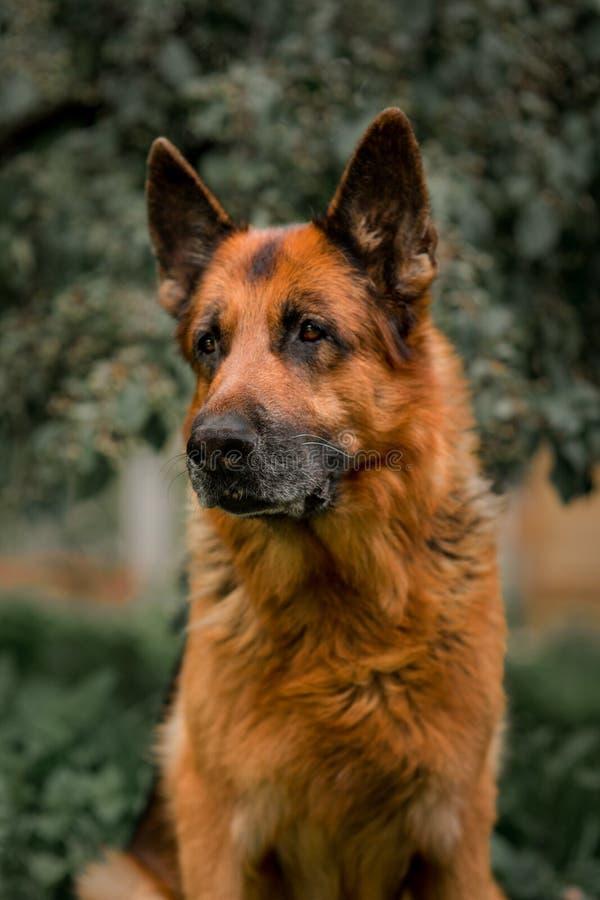 Duitse herderhond op het gras het oude Duitse herder stellen op de aard royalty-vrije stock afbeeldingen