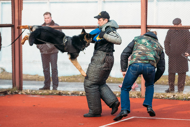 Duitse herderhond opleiding in Regionale Gomel royalty-vrije stock foto's