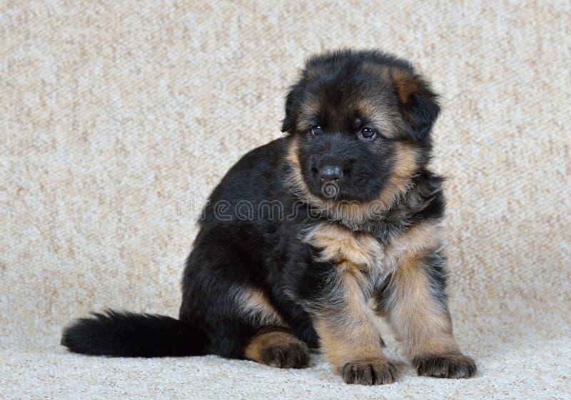 Download Duitse herderpuppy! stock afbeelding. Afbeelding bestaande uit dieren - 39108339