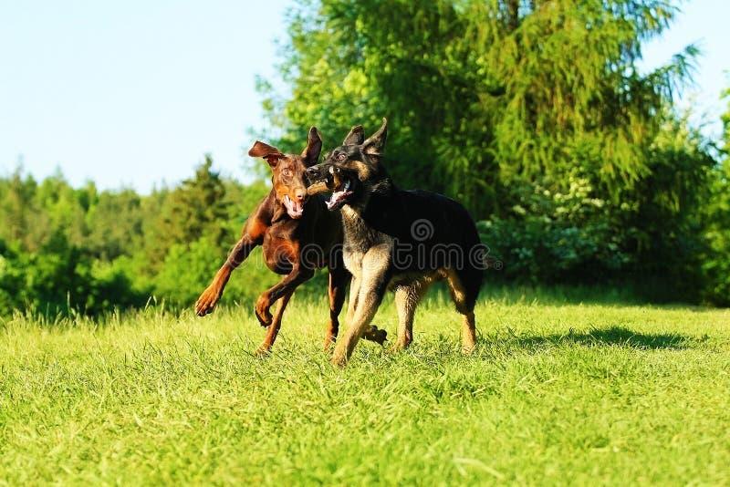 Duitse herderpuppy en het bruine doberman pinscher lopen royalty-vrije stock afbeelding