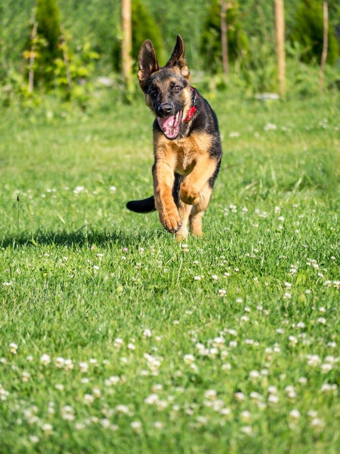 Duitse herderpuppy het lopen stock foto