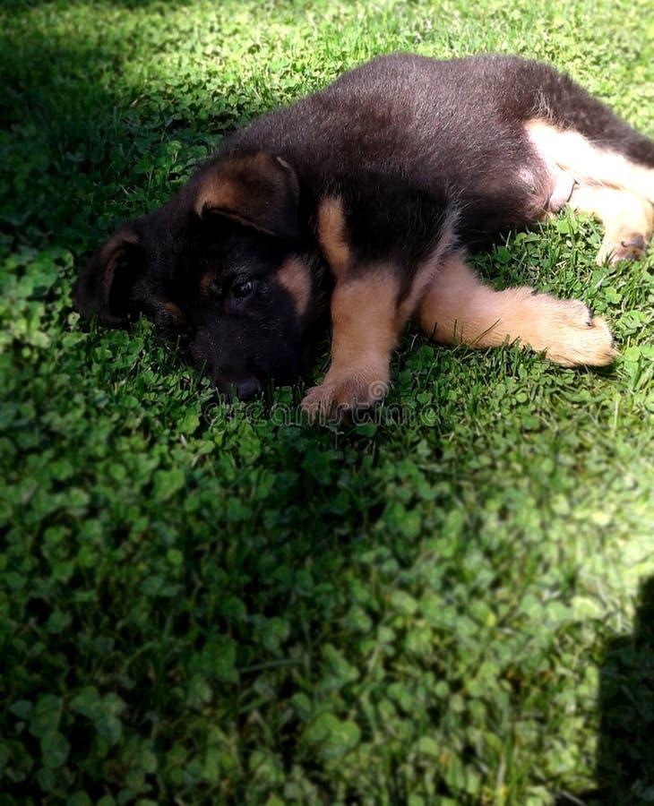 Duitse herderpuppy 2 maanden die op het gras slapen stock afbeeldingen