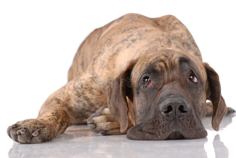 Duitse mastiff royalty-vrije stock afbeeldingen