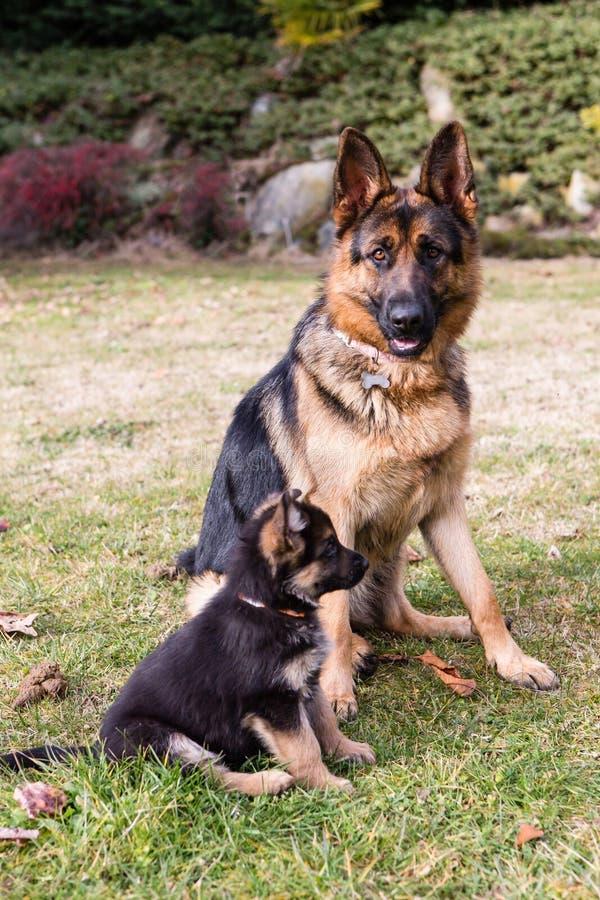 Duitse sheperd: moeder en zoon royalty-vrije stock afbeeldingen