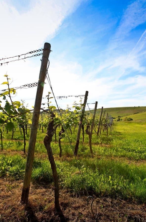 Duitse wijngaard dichtbij de Rijn rivier royalty-vrije stock foto's