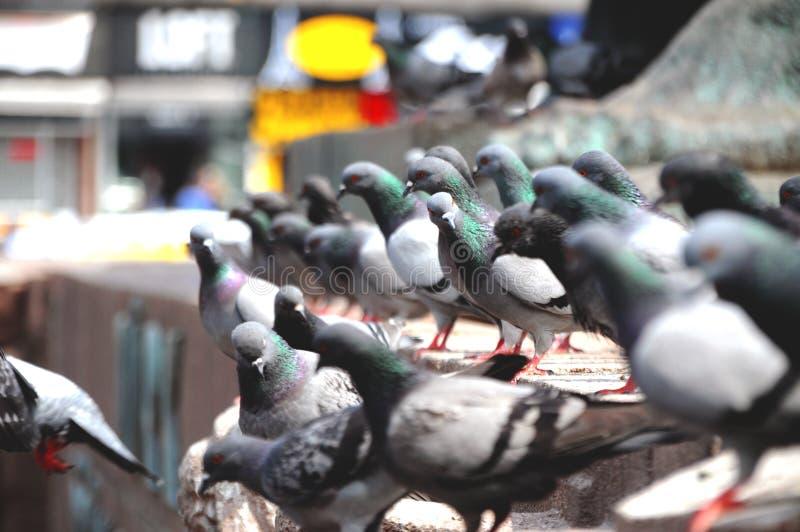 duiven royalty-vrije stock foto's