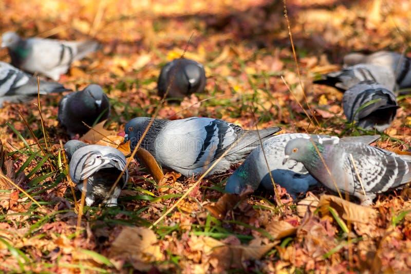 duiven stock afbeeldingen
