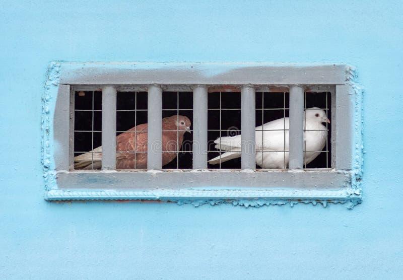 Duiven die in gevangenschap zitten stock foto