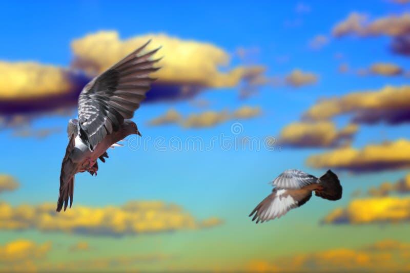 Duiven die over de hemel vliegen royalty-vrije stock foto