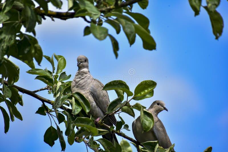 Duiven op de boom stock foto