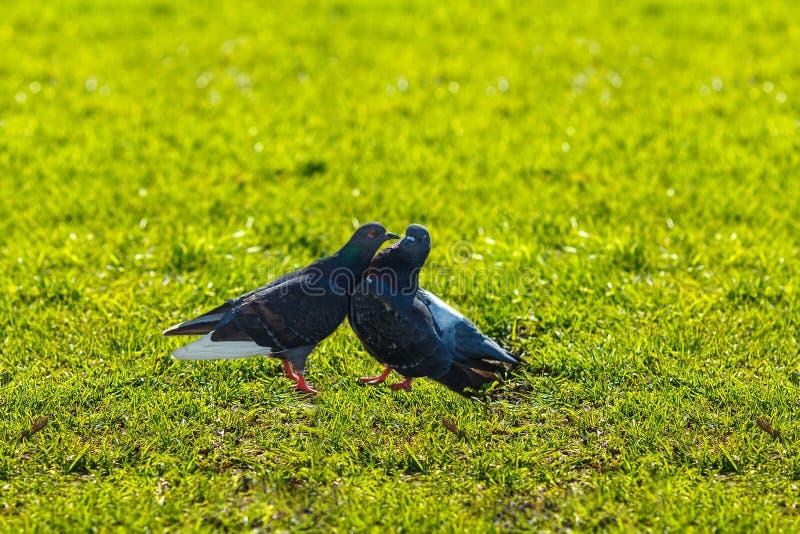 Duiven op het groene gras, duifliefde royalty-vrije stock foto's